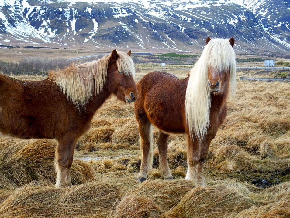Icelandic horses love to pose for photos West  Iceland