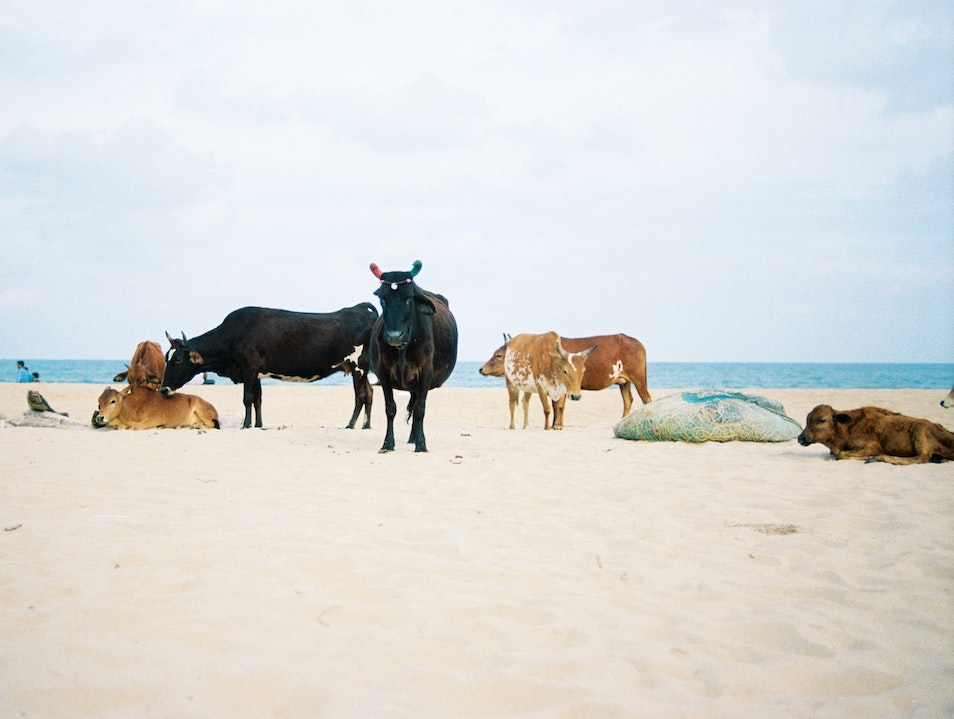 Catch a 'Cow Council' Meeting
