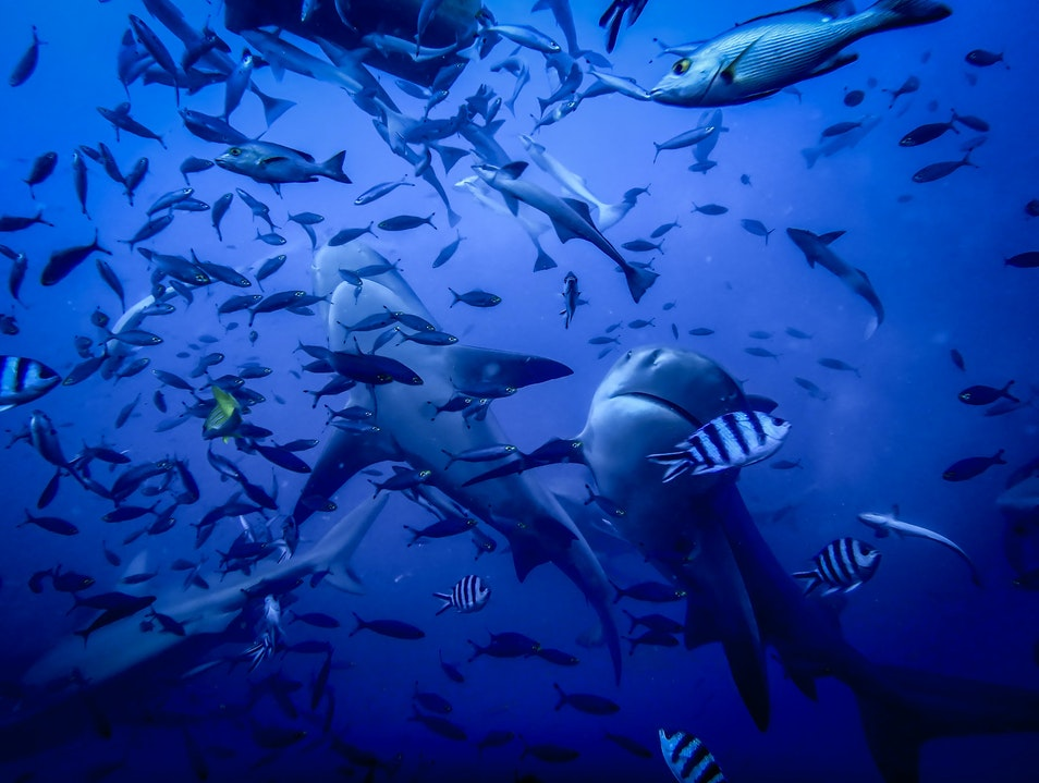 Scuba Diving with Bull Sharks In Fiji