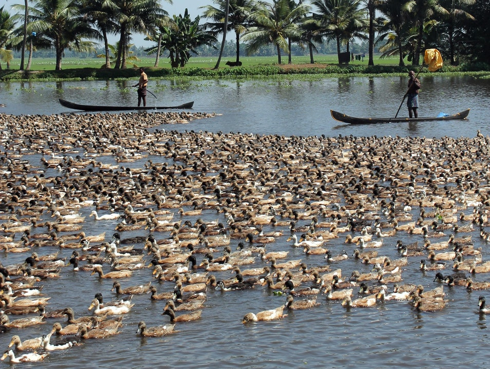 Duck Farmers of Kerala Alappuzha  India