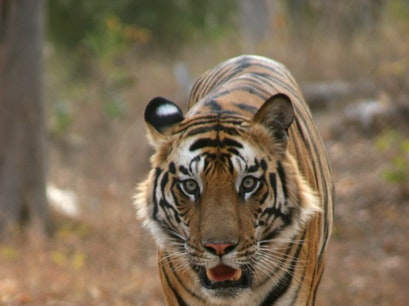 Bandhavgarh National Park Pipraundh  India