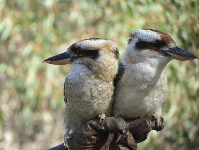 Get up close with the birds of Australia