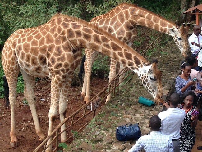 How to feed a #giraffe