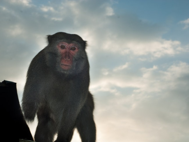 Meet macaques at Monkey Mountain