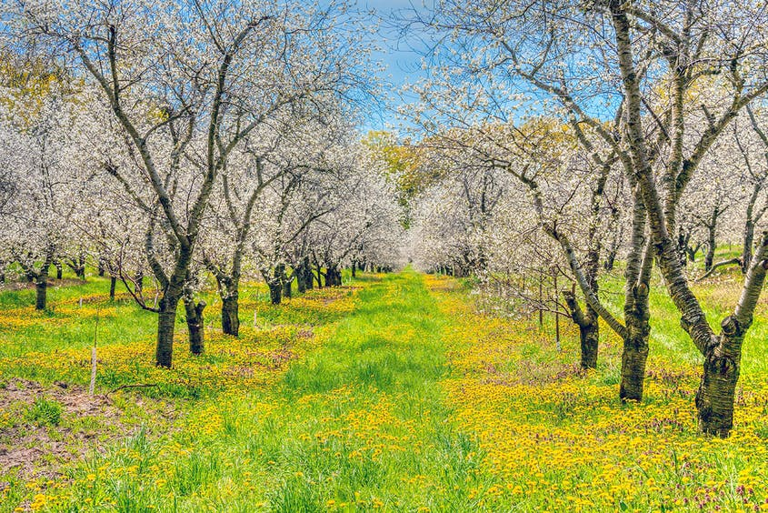 You can't actually stroll the cherry orchards of Traverse City, but when the trees are in bloom, you can view them from hikes and along drives through the area.