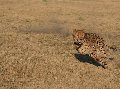 Cheetah Conservation Fund Otjiwarongo  Namibia