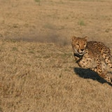 Cheetah Conservation Fund