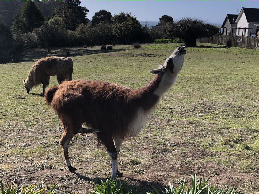 At sunset each evening, visitors at Glendeven can feed the resident llamas and alpacas.