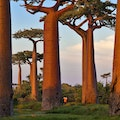 Avenue of the Baobabs Morondava  Madagascar