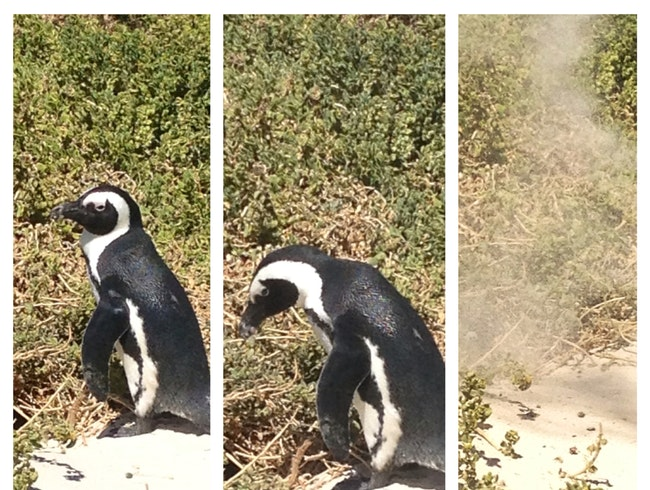 Penguins In Simonstown, Capetown