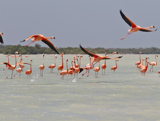 Flamingos: the pink landscape of Yucatan