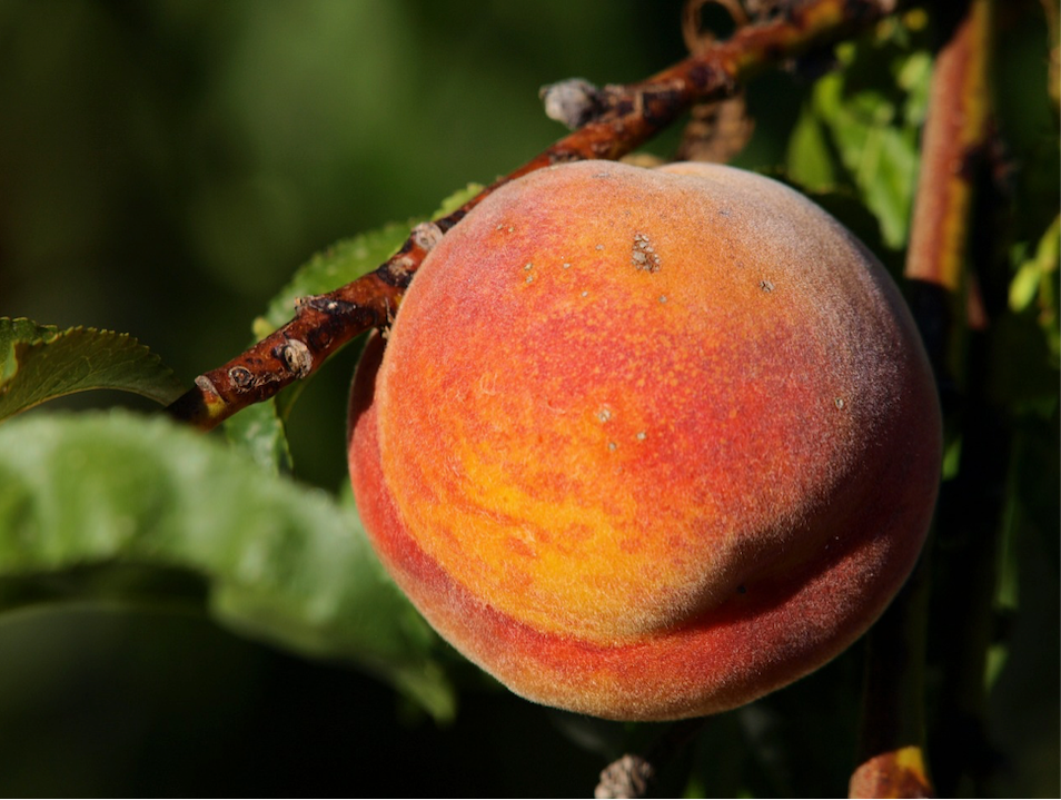 Peaches the Size of Soft Balls
