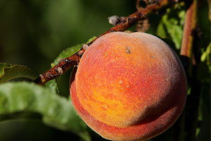 Promised Land Peaches