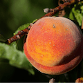 Promised Land Peaches Nacogdoches Texas United States