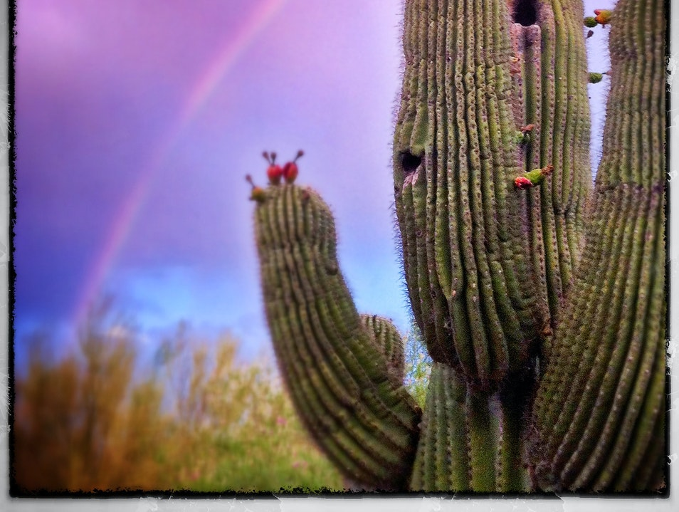 Cactus fruit and the promise of rain