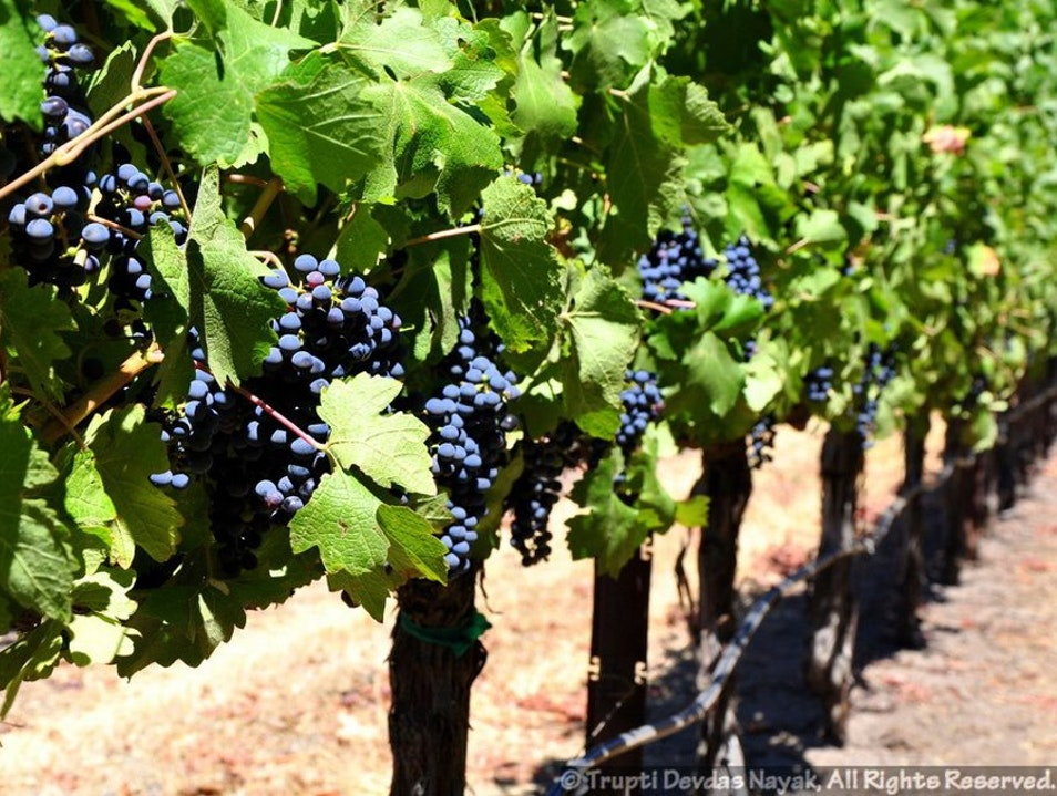 Harvest season in Napa Valley Yountville California United States