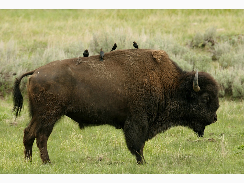 Meet the Bison (and Wolves)