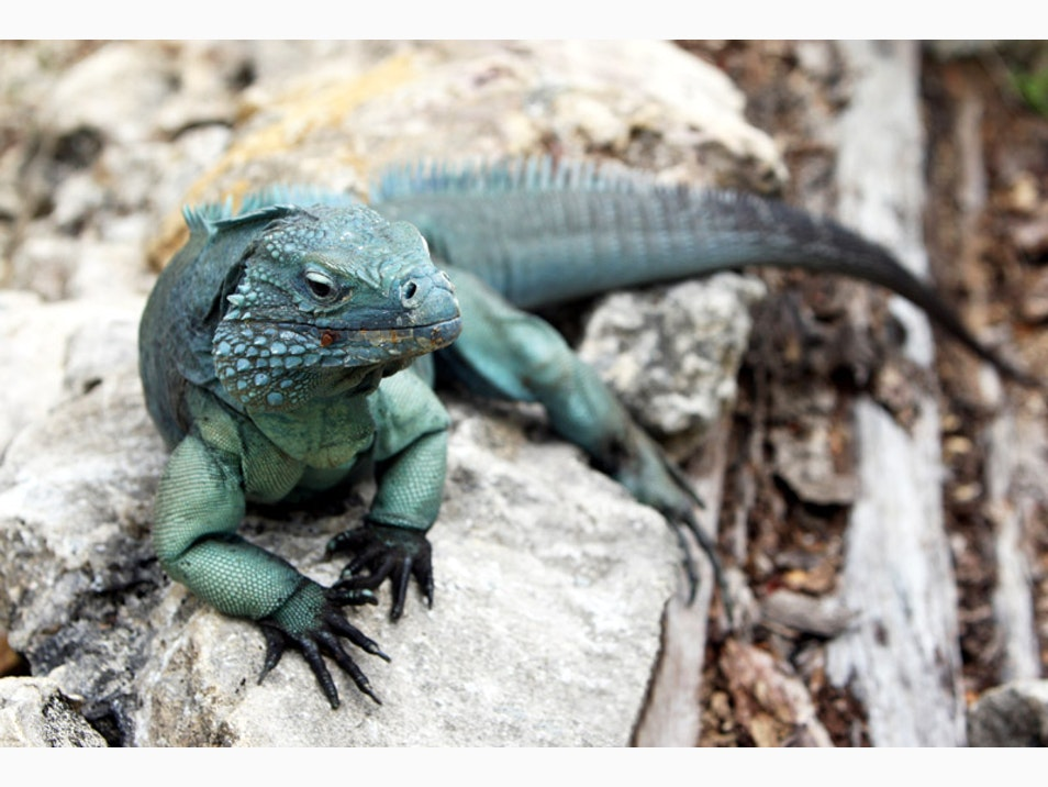 Meet Endangered Blue Iguanas