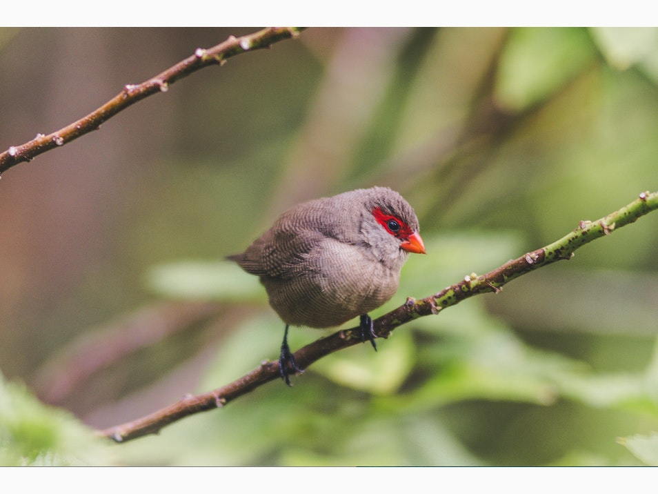 The Common Waxbill